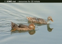 Free Duck Photo 1