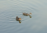 Free Duck Photo 2