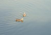 Free Duck Photo 3
