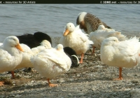 Free Duck Photo 4