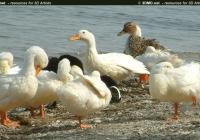 Free Duck Photo 5