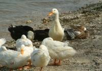 Free Duck Photo 7