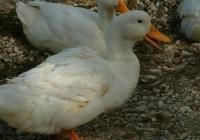 Free Duck Photo 8