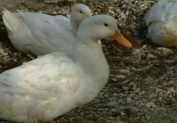 Free Duck Photo 9