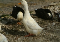 Free Duck Photo 10