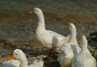 Free Duck Photo 12