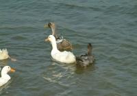Free Duck Photo 13