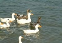 Free Duck Photo 14