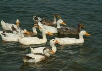 Free Duck Photo 15