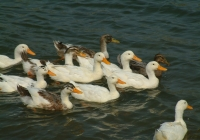 Free Duck Photo 16