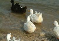 Free Duck Photo 17