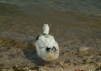 Free Duck Photo 18