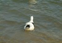 Free Duck Photo 19