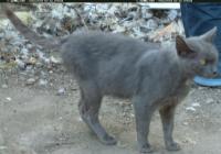 Free Grey Cat Photo