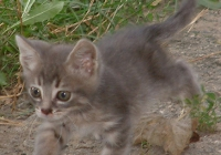 Free Grey Kitten Photo