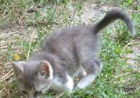 Grey Kitten White Paws
