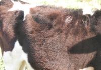 calf photo 12
