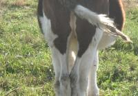 calf photo 13