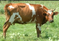 Free Brown Cow Photo