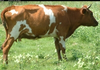 Free Brown Cow Photo Side View