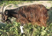 Free Brown Goat Photo Side View