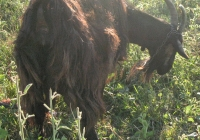 Free Brown Goat Photo
