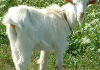 Goat Kid White