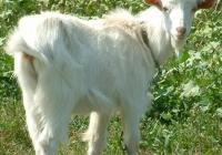 white goat kid photo 01
