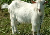 white goat kid photo 02