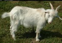white goat kid photo 03