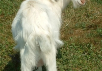 white goat kid photo 05