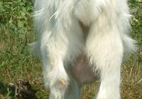 white goat kid photo 09