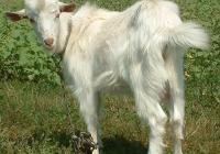 white goat kid photo 10
