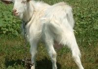 white goat kid photo 12