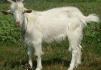 white goat kid photo 15