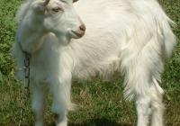 white goat kid photo 16