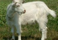 white goat kid photo 17