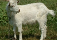white goat kid photo 18