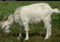 white goat kid photo 19
