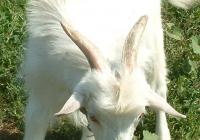 white goat kid photo 21