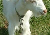white goat kid photo 23