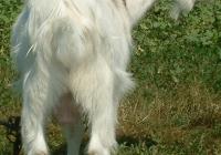white goat kid photo back