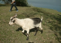 goat walk references 001