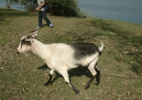 goat walk references 002