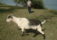 goat walk references 004