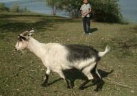 goat walk references 005