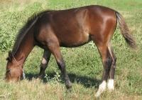 brown foal photo 05