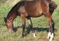 brown foal photo 15