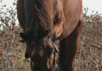 red stallion photo 02