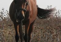 red stallion photo 03